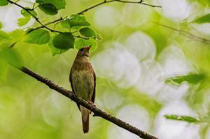 Bird`s Nightingale: spôsob života, pri ktorom dochádza k zimovaniu, reprodukcii a výžive
