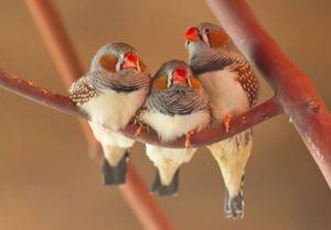 Vtáky Amadina: Zebra, ryža, Japonci a ďalšie