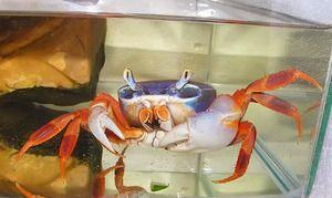 Rainbow krab: údržba a starostlivosť doma