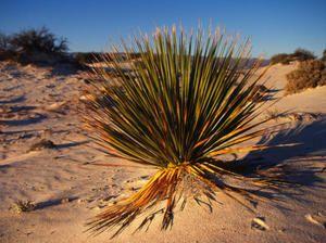 Rastliny, ktoré rastú v púšti