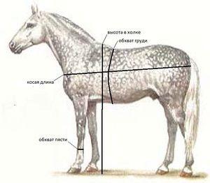 Štruktúra koňa