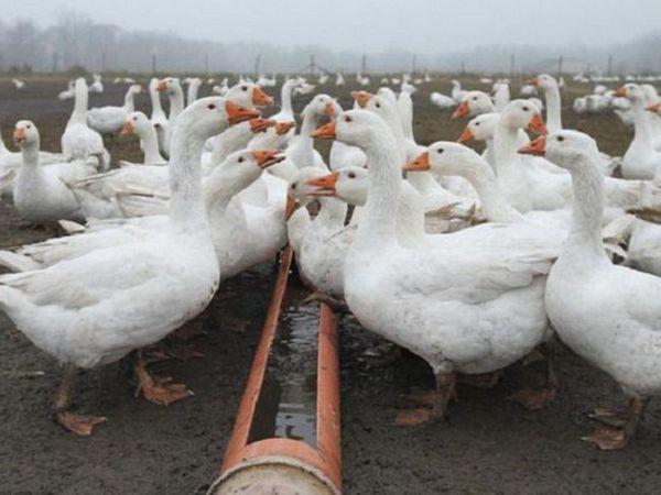 Čo kŕmiť husi doma