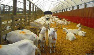 Čo kŕmiť kozy doma