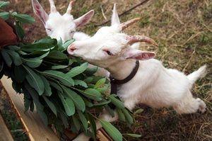 Ako sa starať o kozy