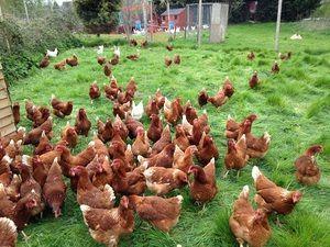 Chovné kurčatá doma. Tipy pre začiatočníkov