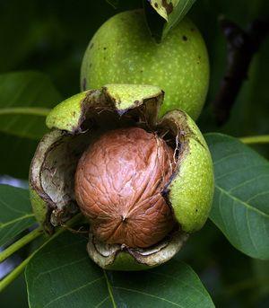 Recepty z džemu zo zelených vlašských orechov