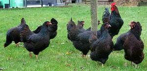 Čo vyzerajú kurčatá Barnevelder?
