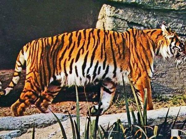 Zakakazský tiger na pyrode