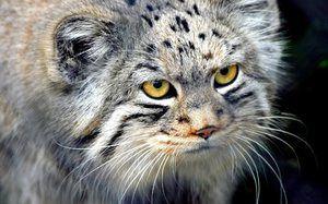 Manul - mačka