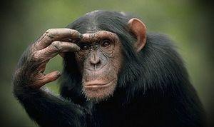 Šimpanzy - ako chytré sú?