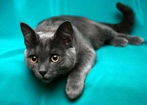 Najchytřejší mačky - čo sú plemená