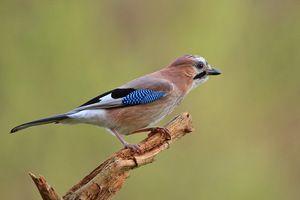 Bežný jay je inteligentný vták