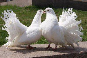 Holuby Páni sú inteligentné vtáky