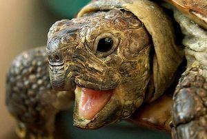 Korytnačky - rysy plemena