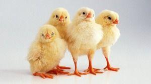 Ako odstrániť kurčatá