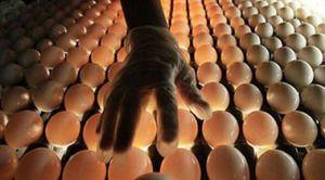Ukladanie vajec do inkubátorovej technológie