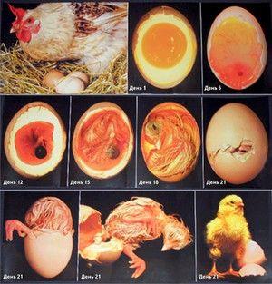 Etapy vývoja vajec v inkubátore