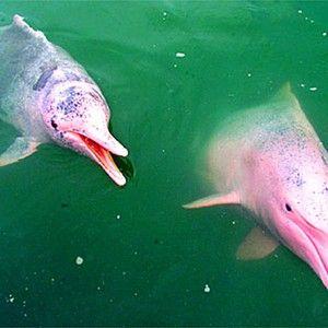 Dolphin ružová farba