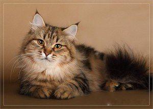 Ruská sibírska mačka: popis a charakteristika plemena