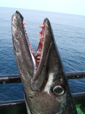Zuby obrovského barakuda