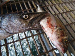 Mŕtvy snap barracuda.