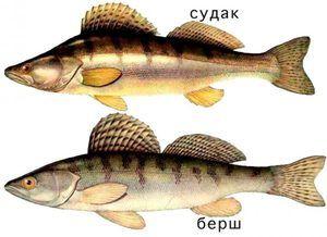 Popis rybieho borša