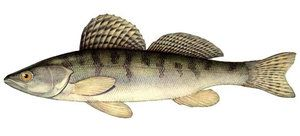 Ako rybať bershe