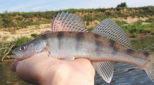 Výhody výhonky rýb