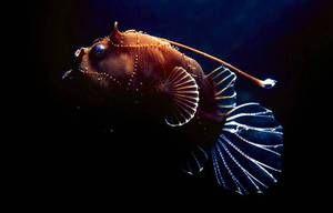 Rybárske lampy alebo morské ryby: opis a opis