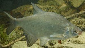 Charakteristika chovných rýb