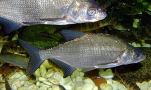 Bream fish diet