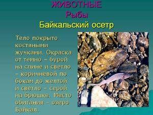 Baikal jeseter