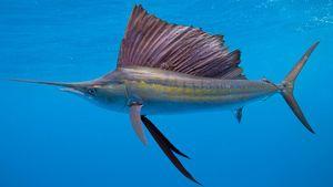 Ako ryba vyzerá ako plachetnica