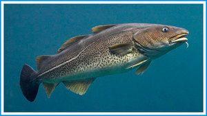 Ktoré ryby súvisia s treskou