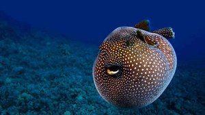Rybia guľa, ktorá sa môže nafúknuť: biotop