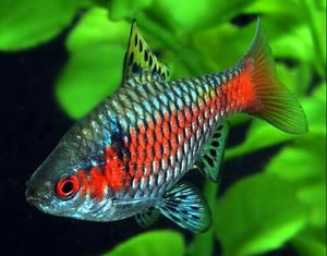 Ryby barbs: druh, starostlivosť, reprodukcia