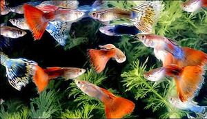 Variety guppies Foto