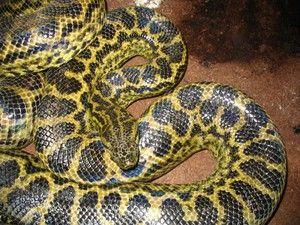 Popis obrovských hadov