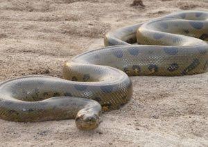 Najväčšie pytóny hadov