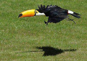 Najzaujímavejším z života Toucan je vták s veľkým zobákom