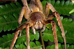 Najväčšie a najnebezpečnejšie pavúky na svete