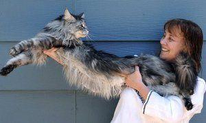 Najväčšia mačka je Maine Coon Stewie