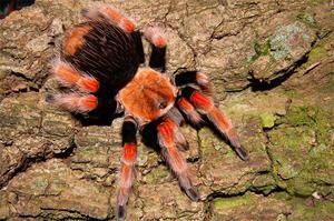 Jedovatý pavúk