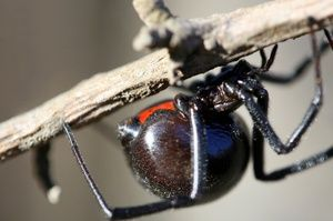 Zakousnutie jedovatého pavúka