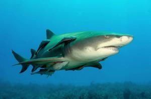 Žralok citrón