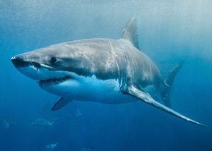 Biela žraloka