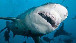Žralok tuporylaya