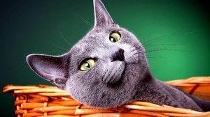 Tajomstvo úspechu ruskej modrej mačky