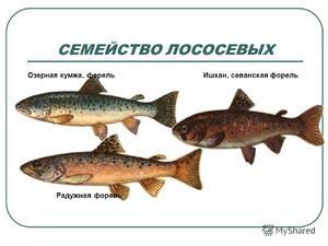 Ktoré ryby patria do rodiny lososov