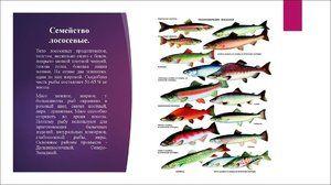 Opis lososovitých rýb